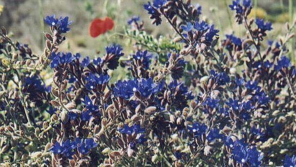 Blue Wildflowers1