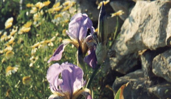 Grandfathers Irises