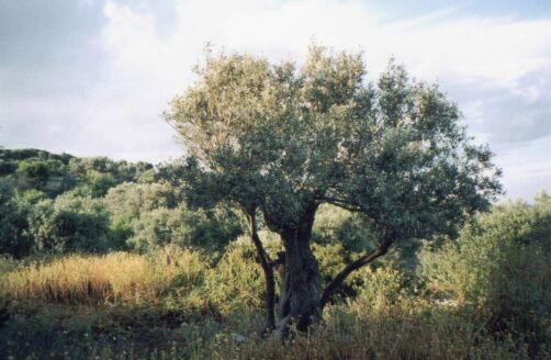 OliveTree on Stavros