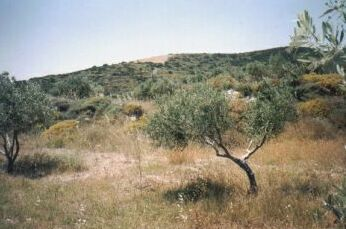back hill young olives1